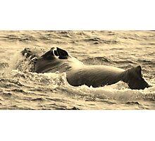 Male Humpback In Hawaii Photographic Print