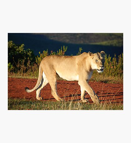 Gondwana Lioness Photographic Print