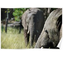 Knysna Elephants Poster