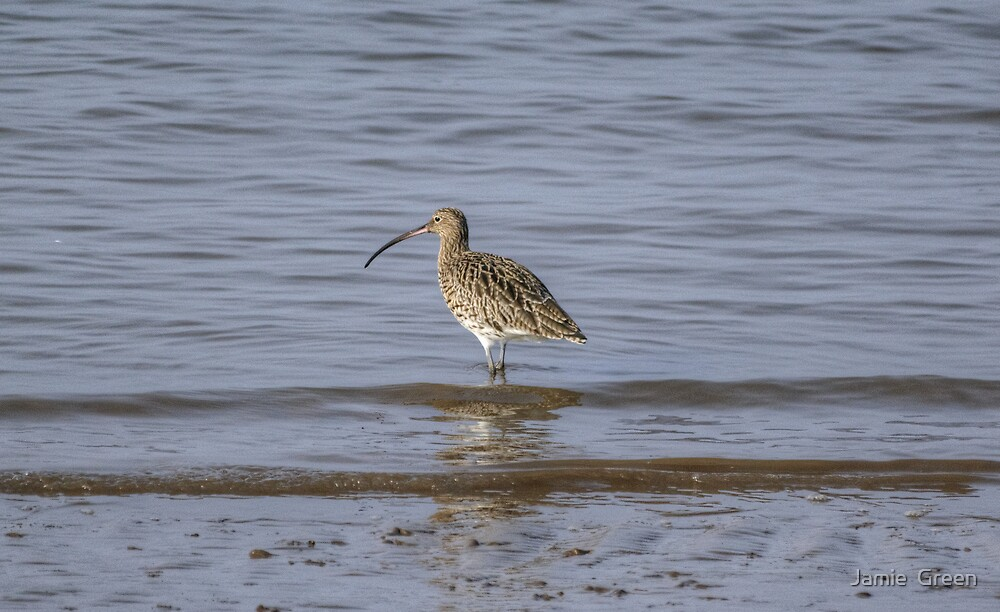 Curlew by Jamie  Green