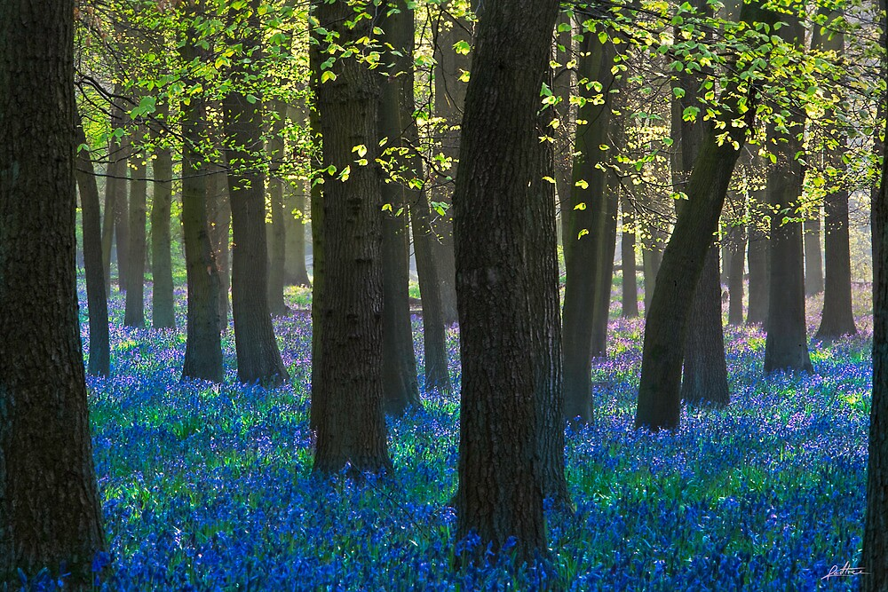 BlueBells III by redtree