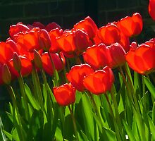 Tulips by Antoinette B
