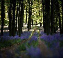 Bluebell Trail by redtree