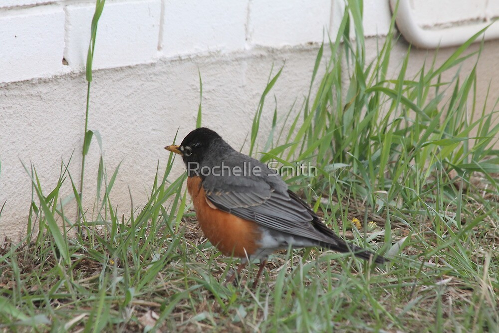 Robin by Rochelle Smith
