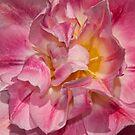 tulip macro by Penny Rinker