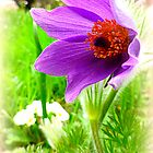 Pulsatilla vulgaris by The Creative Minds