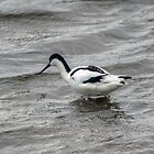 Pied Avocet by Jamie  Green