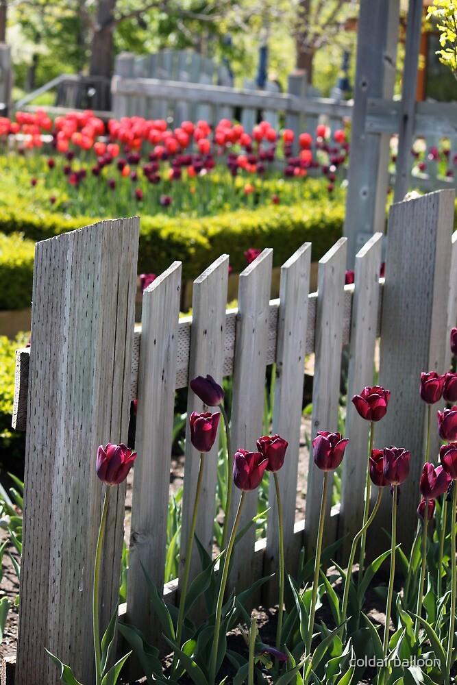 Tulip Garden by coldairballoon