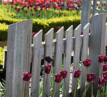 Tulip Garden by coldairballoon