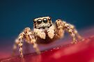 Pseudeuophrys erratica female jumping spider photo by Mario Cehulic