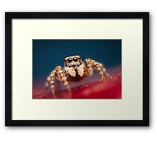 Pseudeuophrys erratica female jumping spider photo Framed Print