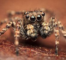 Sitticus pubescens male jumping spider by Mario Cehulic