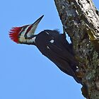 Male Pileated Woodpecker by William Brennan