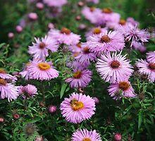 Purple Gerbera by mlphoto