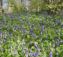 Bluebell Bank by Lucy Wilson