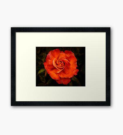 Aged Red Rose Framed Print