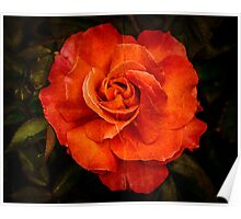 Aged Red Rose Poster