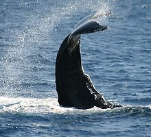Tale Slapping Humpback by Katie Grove-Velasquez