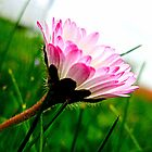 Pink Daisy ~ Bellis perennis by The Creative Minds