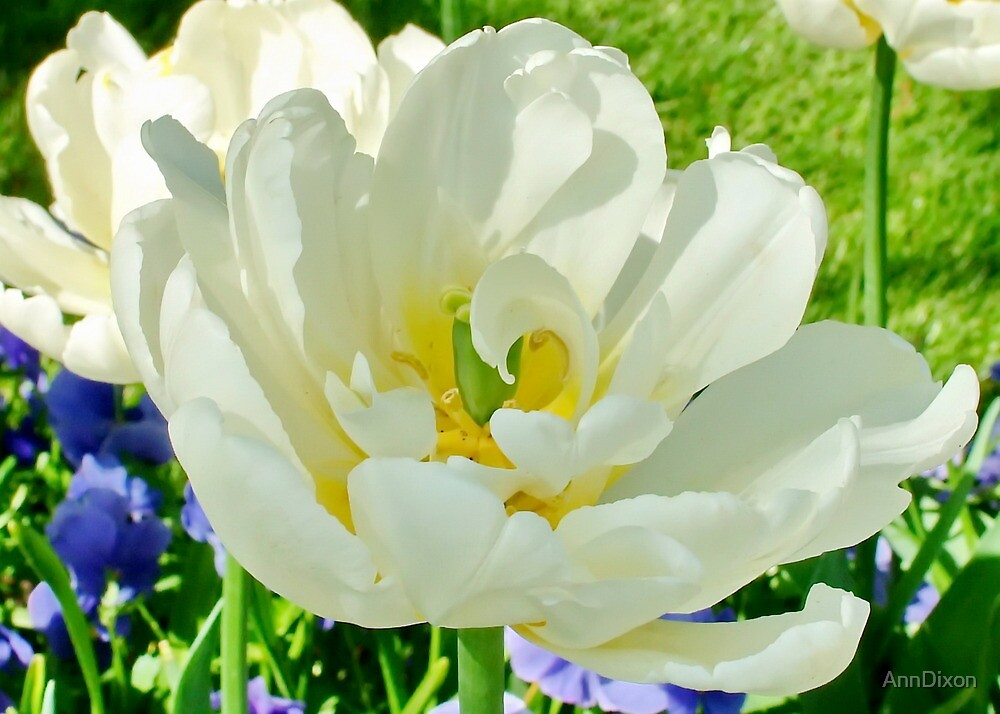White Tulip in the Sunshine by AnnDixon