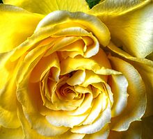 The Yellow Rose by Stephen Walton