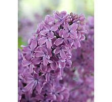 Perfect Lilac Photographic Print
