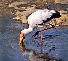 Yellow-Billed Stork by Karine Radcliffe