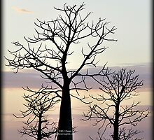 Boab Trees at Sunrise by Mary Jane Foster