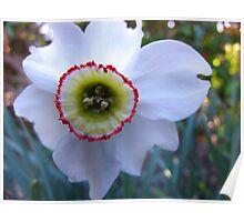 Pheasant Eye Daffodil Poster
