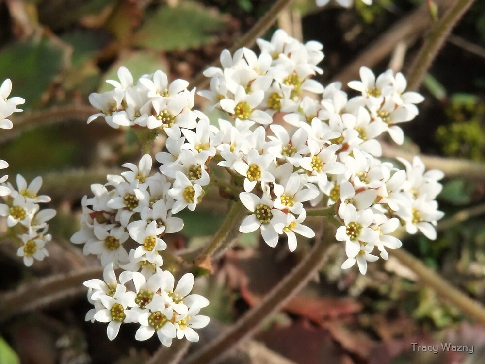 Early Saxifrages -Saxifrage virginiensis by Tracy Wazny