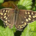 Speckled Wood butterfly by Rivendell7