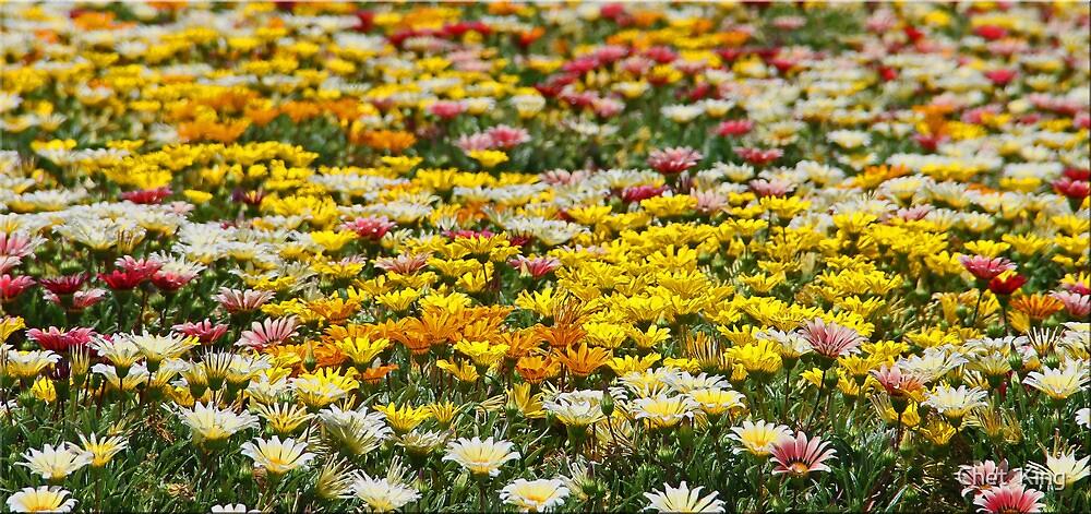 Gazania Field by Chet  King