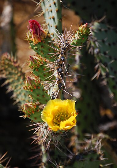 Prickly Pear in Bloom by Ron Hannah