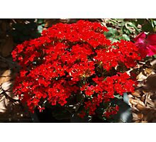 Red kalanchoe Photographic Print