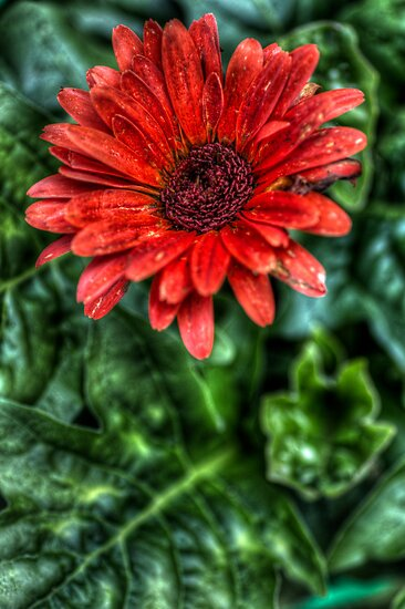 HDR - Red Flower by Doug Greenwald
