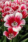 Tulip Annemarie by Jasna
