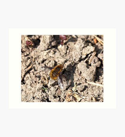 Common Bee-fly Art Print