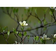 Dogwood Blossoms II Photographic Print