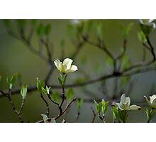 Dogwood Blossoms II Photographic Print
