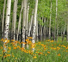 Aspen Grove and Wildflower Meadow by Matt Tilghman