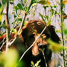 Loki Peek A Boo Among Sycamore Saplings '13 by goldnzrule