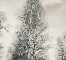 Birch Tree - Lou Campbell State Nature Preserve by Mitch Labuda