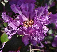 Lilac colored Azalea by vigor