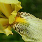 Yellow Iris II by karineverhart