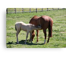 Baby Horse Nursing from it's Mother Canvas Print