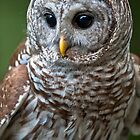 Florida Barred Owl Wild and Free by Joe Jennelle