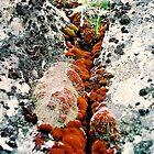 Rock lichen & moss, Tasmania by Alister A Mackinnon