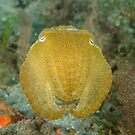 Broadclub cuttlefish - Sepia latimanus by Andrew Trevor-Jones