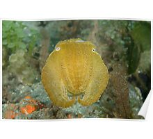 Broadclub cuttlefish - Sepia latimanus Poster