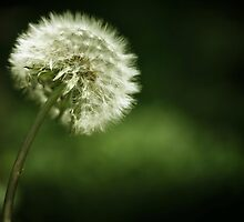 dandelion by passerby2